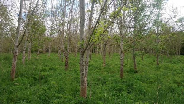 Forestry Journal: Planted 20 years ago, these woodlands at Kilburns Farm have been severely affected by Ash dieback.