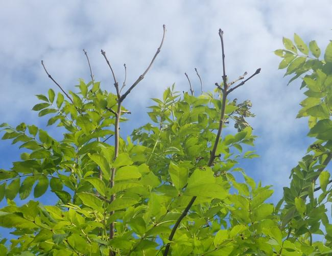 Disease-tolerant trees to be planted in battle to beat ash dieback
