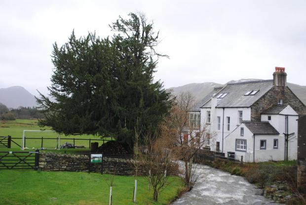Forestry Journal: The Lorton Yew, viewed from the bridge over Whit Beck.
