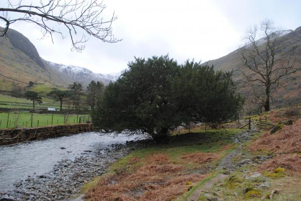 Forestry Journal: The mature female yew, which grows below the Borrowdale Yews on the banks of the River Derwent.
