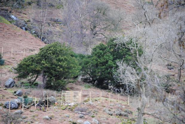 Forestry Journal: The Borrowdale Yews, with their distinctive green canopies, stand out on the hillside.