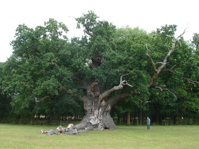 Oak processionary moth strikes at the 'heart of English oak'