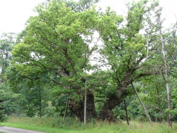 Forestry Journal: King Offa's Oak in Windsor Great Park (a pedunculate oak – Quercus robur). Real problems will be presented if OPM invades this priceless 1,300-year-old tree.