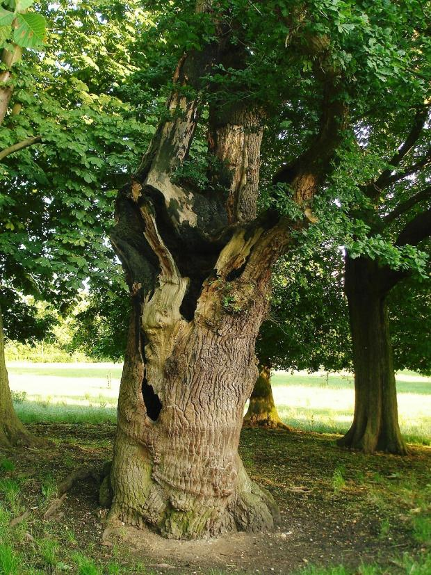 Forestry Journal: A hollow ancient oak tree is the ideal place to hide, including for a future King of England.