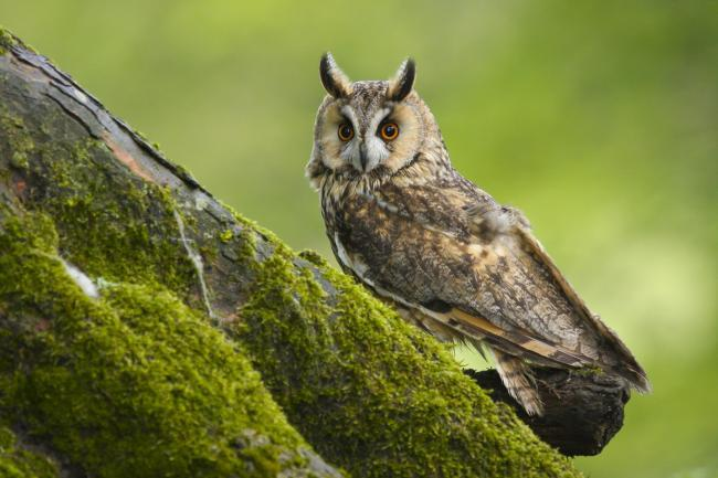 Forestry England is calling out for elusive long-eared owls