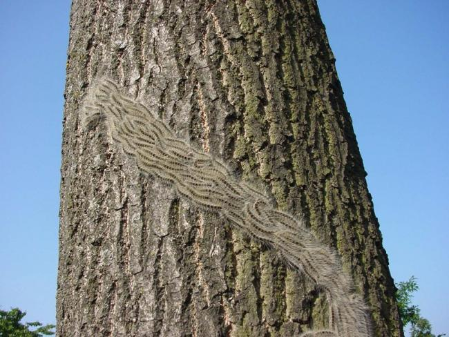 Tighter restrictions on oak tree imports to combat OPM