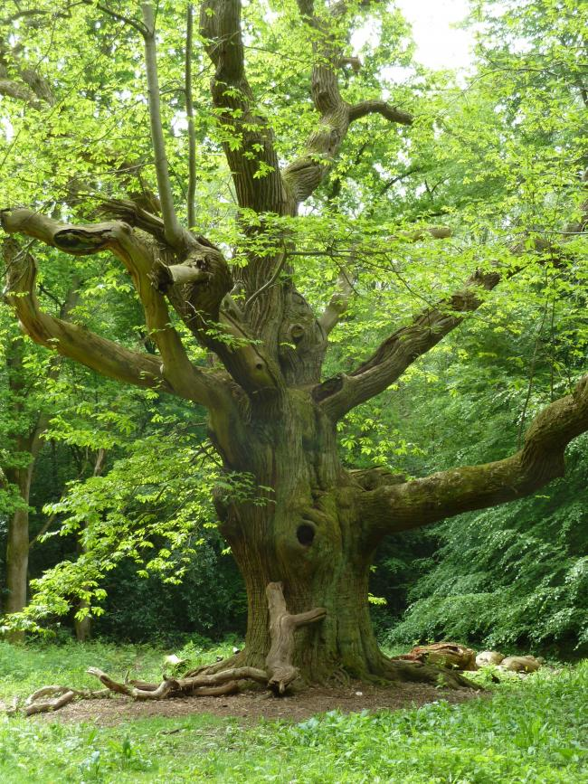 Sweet chestnut blight: a timeline