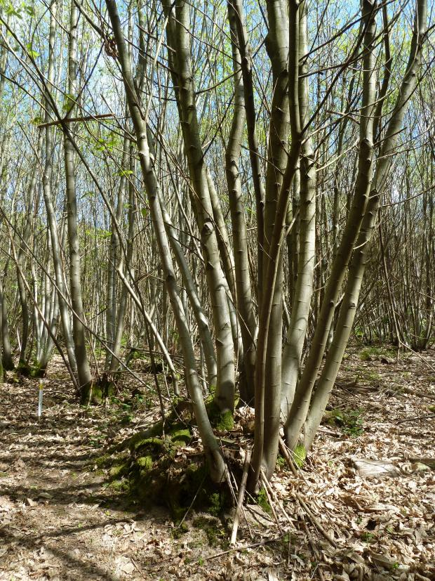 Forestry Journal: Sweet chestnut is the UK's most important coppice crop – chestnut coppice seen here in a Surrey woodland.