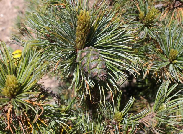 Forestry Journal: All the Mountain pines have a uniquely recognisable feature on the female cones. The scales have a small protruding hook to which the trees owe their scientific appellation (uncinata) and their common French name Pin à crochet.