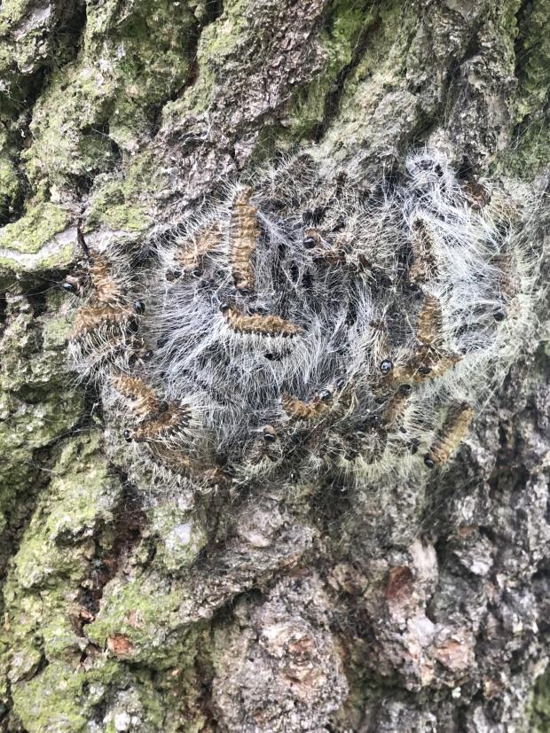 Forestry Journal: Hopefully, most nests will have been found and destroyed while still containing late instar-stage larvae (seen here) or pupae, and therefore before the adult moths have emerged, exited the nest and dispersed to lay eggs (photo courtesy of Maydencroft).