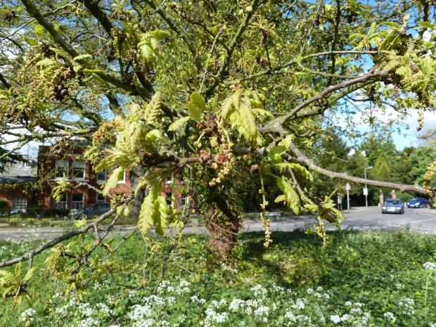 Forestry Journal: Evidence suggests that, when given the choice, OPM prefers Turkey oak (Quercus cerris), seen here re-foliating and flowering in North London in the month of May.
