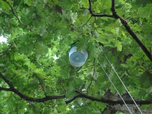 Forestry Journal: The Forestry Commission will have been frantically plotting any potential adult moth spread from OPM nests by deploying pheromone traps (in late summer/early autumn) to catch the male moths. Here, a large bucket-type pheromone trap is hoisted high in an oak tree in a Hertfordshire public park.