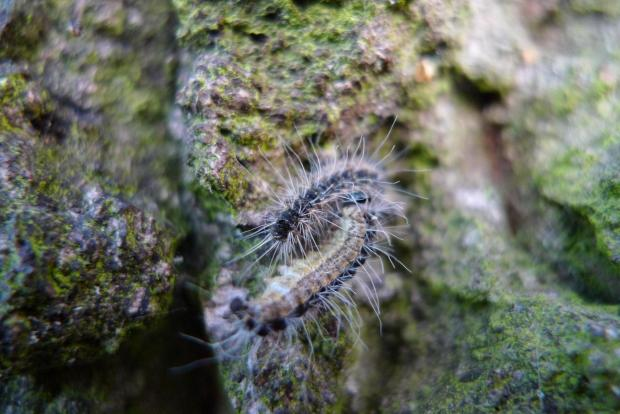 Forestry Journal: Late instar-stage OPM larvae are tough, resilient and bear stinging hairs (photo courtesy Bartlett Tree Experts).