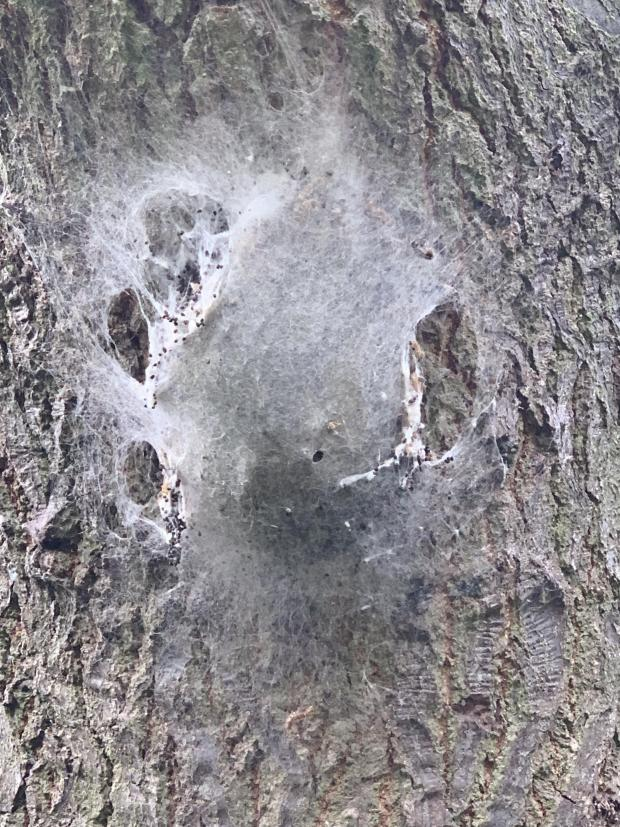 Forestry Journal: An OPM nest found in August 2019, scheduled for immediate removal. Hopefully, the nest still contained insects at the pupa stage, though by this time the adult moths or at least some of them could have already emerged, exited the nest and dispersed to lay eggs (photo courtesy of Maydencroft).