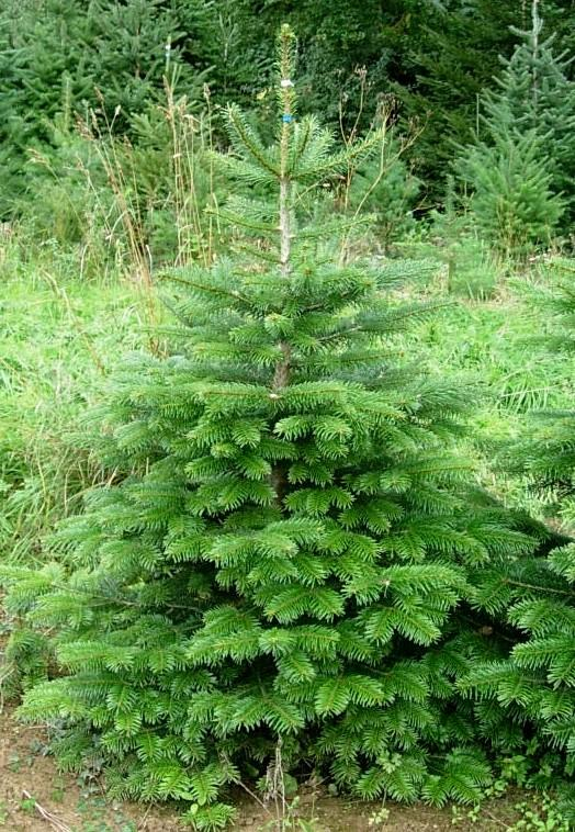 Forestry Journal:  The Nordmann fir will keep its freshness longer than the Norway spruce when cut earlier.