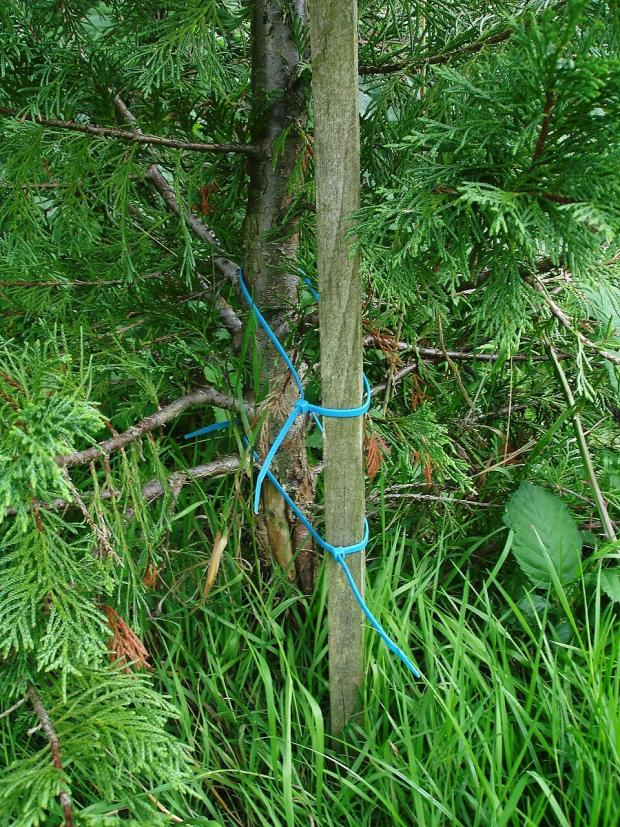 Forestry Journal: Narrow cable ties are the best bet for conifers like the Leyland cypress shown here.