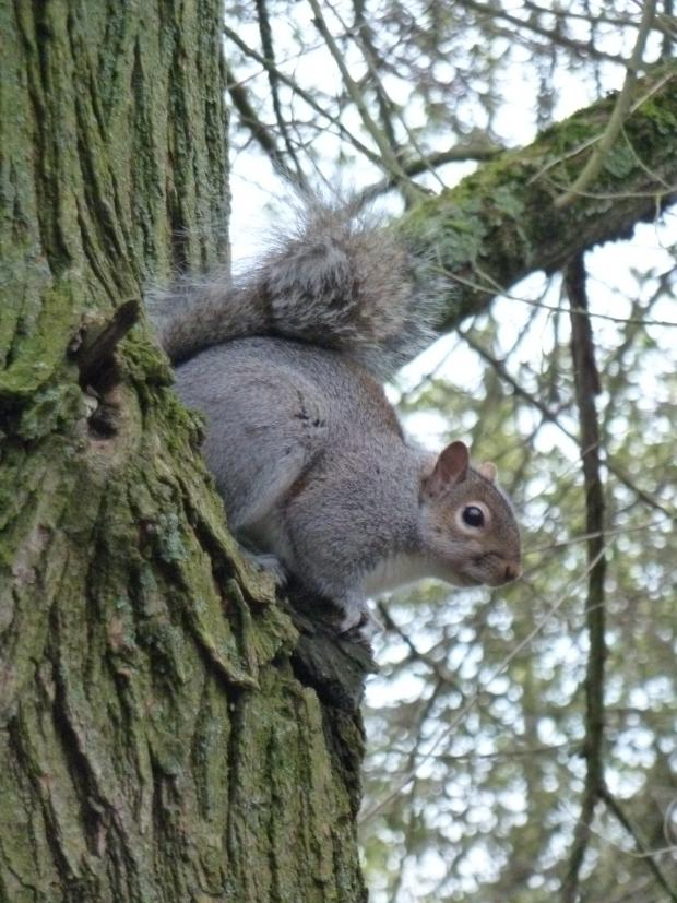 Forestry Journal: Grey squirrel currently rules the roost over the vast majority of England, but could be knocked off its perch in places like North Hertfordshire by the emergence and increase of black squirrels.