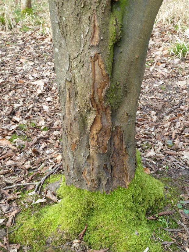 Forestry Journal: The fluted (folded) nature of the hornbeam main stem means grey squirrels fail to completely ring-bark the tree and thus offers some protection against a terminal outcome for the tree.