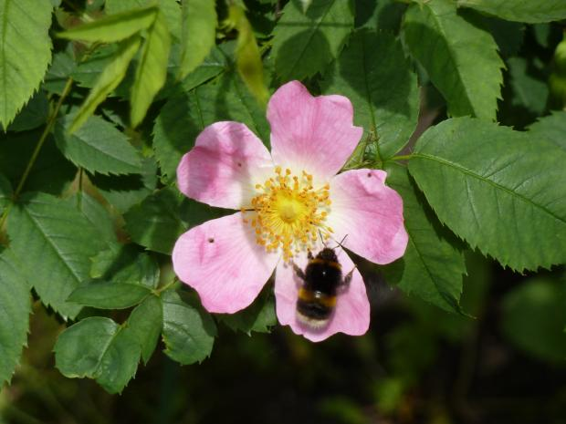 Forestry Journal: Scented flowers of the dog rose are highly attractive to pollinating insects.