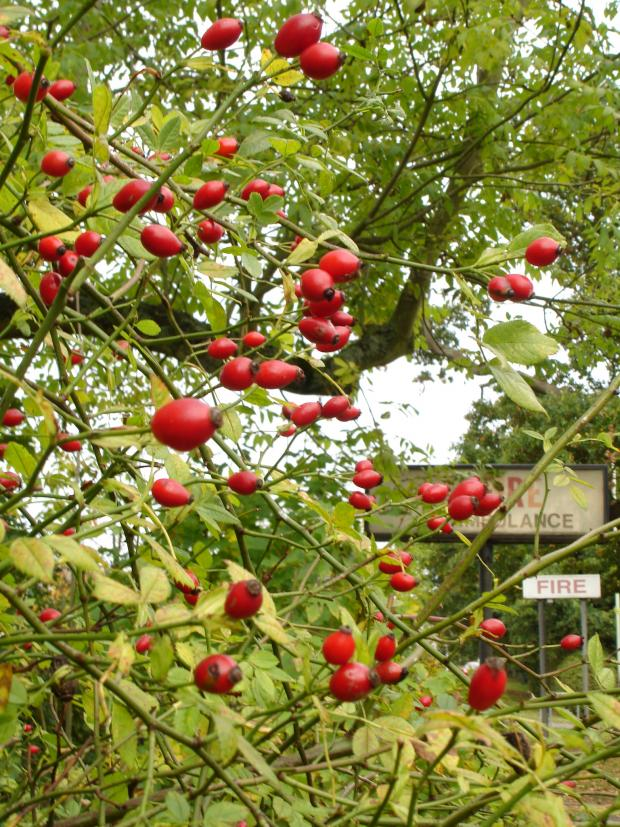 Forestry Journal: Mid October, and already red-ripe, rosehips are beginning to soften up to provide vital winter food supplies for a range of birds and small mammals.