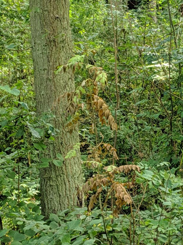 Forestry Journal: Clear illustration that the disease is still spreading aggressively.