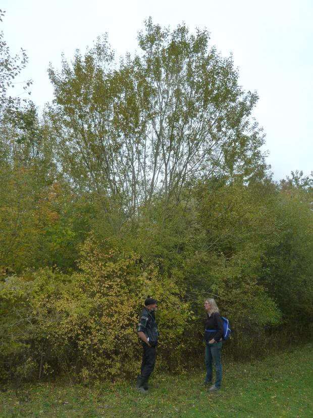 Forestry Journal: Grey sallow which has successfully invaded this inherently wet site may prove useful in filling some gaps left by the ash trees killed by Chalara.