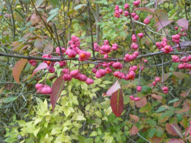Forestry Journal: The uniquely shaped and coloured fruits of the spindle tree stand out in the front row next to the ride.