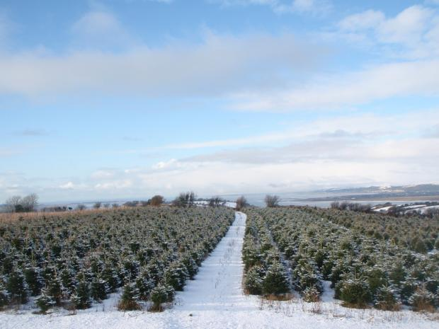 Forestry Journal: Silent and serene with a covering of snow – home-grown Christmas trees.