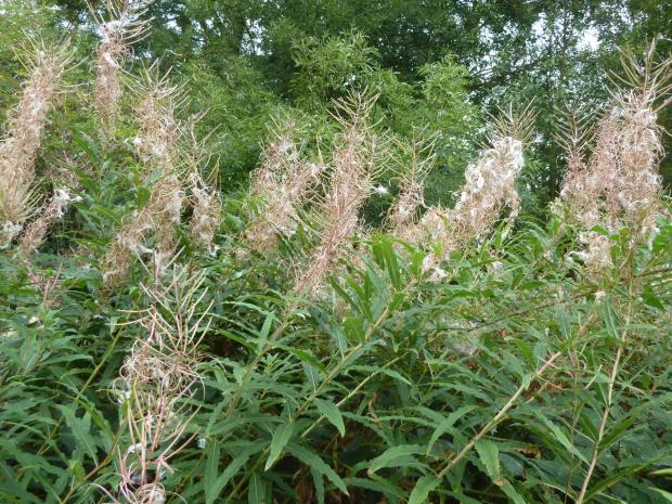 Forestry Journal: Rosebay willowherb (fireweed) gone to seed in September 2019, but seedlings germinating in 2020 could be spreading rust disease among true firs like Nordmann fir on Christmas tree farms.