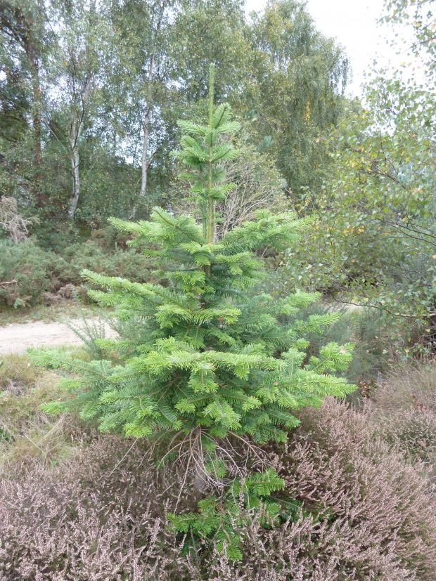 Forestry Journal: Grand fir is one of the newer species to spark interest in the UK Christmas tree industry and market.