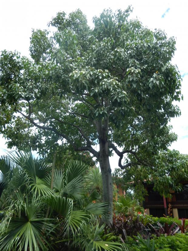 Forestry Journal: The kukui nut tree is the state tree of Hawaii.