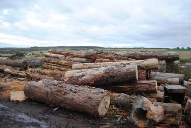 Forestry Journal: Cedar logs are Iain's timber of choice to carve with.