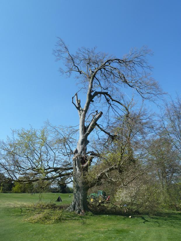 Forestry Journal: Safety for players and the public is paramount. This old beech tree on a fairway and suffering serious wind damage had to be significantly reduced for safety reasons.