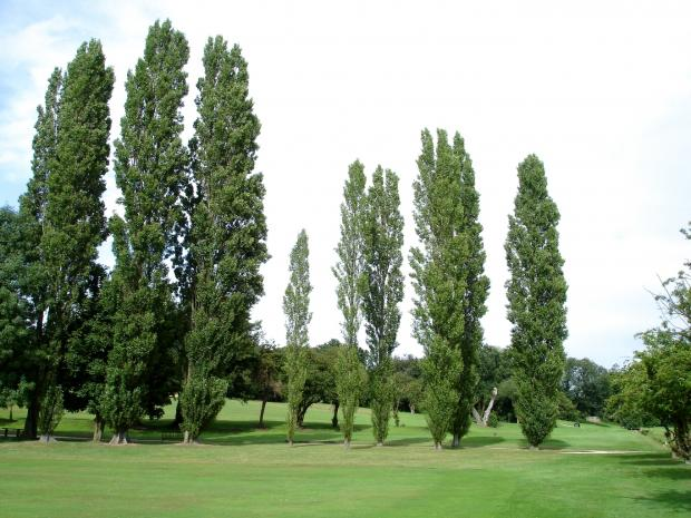Forestry Journal: Very tall trees are normally avoided but one exception is Lombardy poplar (Populus nigra var.italica). Trees shoot straight up tall and narrow to give correspondingly slim shade with minimal impact on turf.