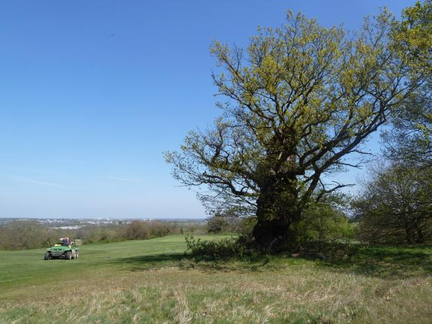 Forestry Journal: Britain's golf courses are custodians of some of the country's oldest and most valuable trees, remaining from the estates and farmland on which they were constructed, like the ancient English oak seen here on a golf course in West Hertfordshire.