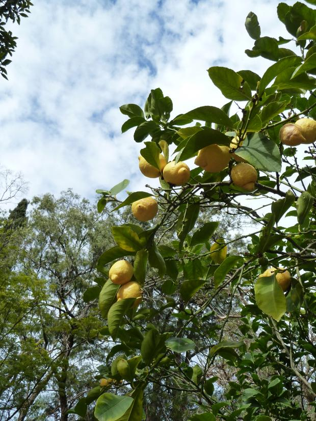 Forestry Journal: Lemon (Citrus limon) is a high-acid citrus grown in classic Mediterranean-type climates, but not in the Equatorial tropics where lime (Citrus aurantifolia) is grown instead.