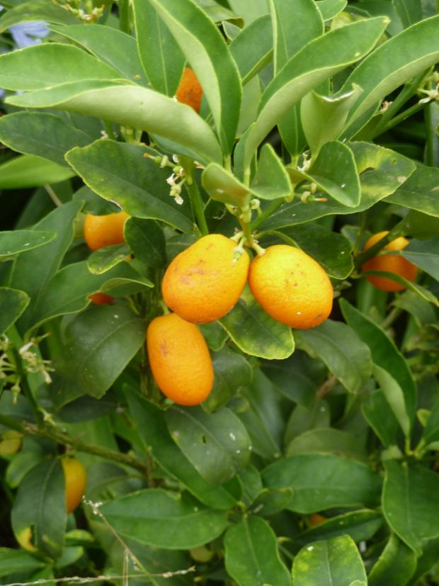 Forestry Journal: Kumquat (Citrus japonica) is ideal as container-grown plants due to the intrinsically small-sized fruit.