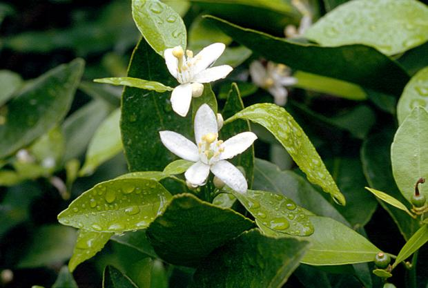 Forestry Journal: Orange blossom – one of the sweetest and most fragrant flowers on planet earth.