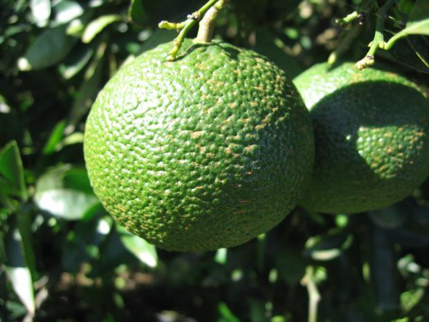 Forestry Journal: Commercial citrus is routinely sprayed with copper fungicides such as cuprous oxide, the rusty-red coloured deposit of which is visible on these recently sprayed oranges.