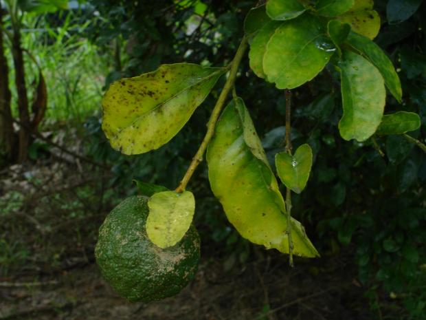 Forestry Journal: Citrus suffers from a wide range of nasty diseases – oranges with scab disease on the fruit and greasy spot disease on the leaves.