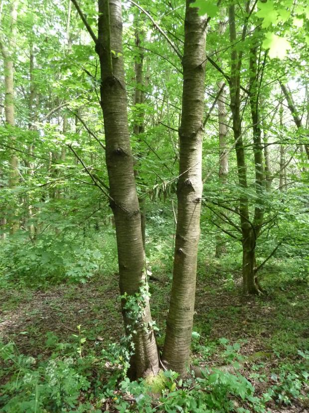 Forestry Journal: A twin-leader wild cherry (gean).