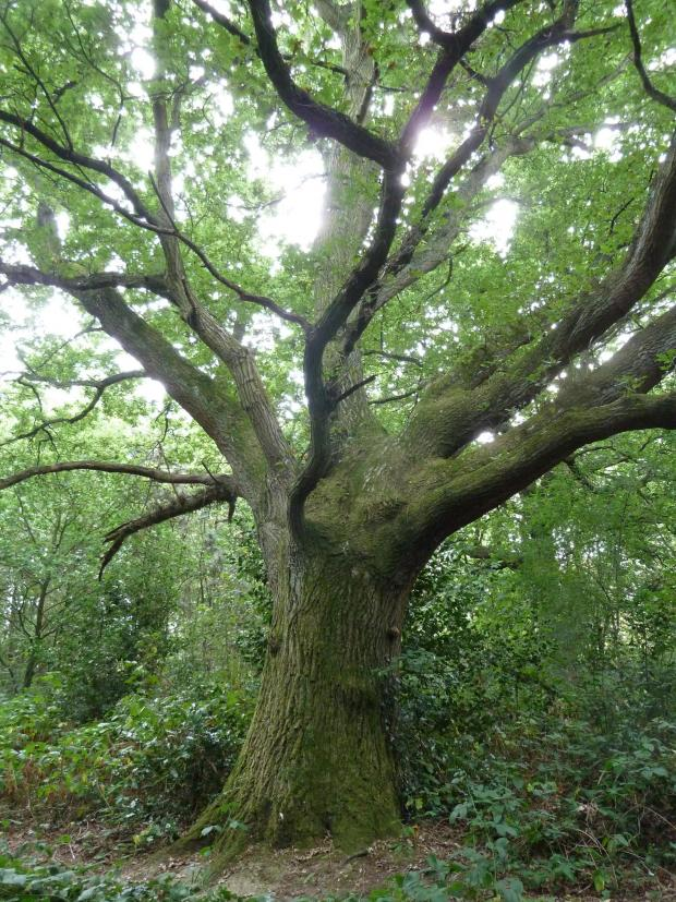 Forestry Journal: Deep inside the woodland were several veteran if not ancient English oaks – the only English oaks of this age in the vicinity, which is perhaps surprising given the ancient history of the area as common land.