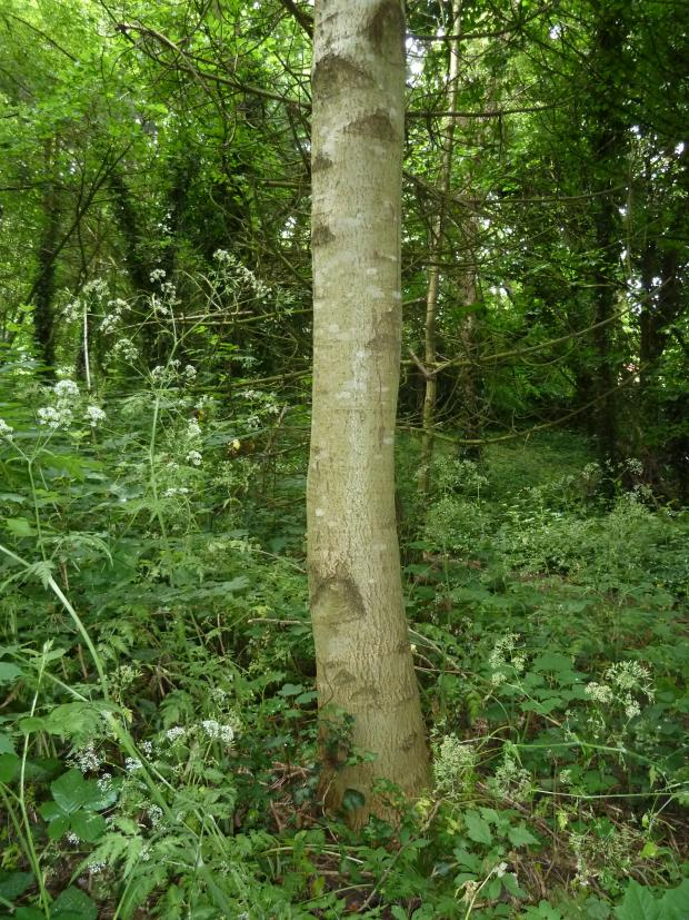 Forestry Journal: It was common ash which had done best in the context of potential timber trees.