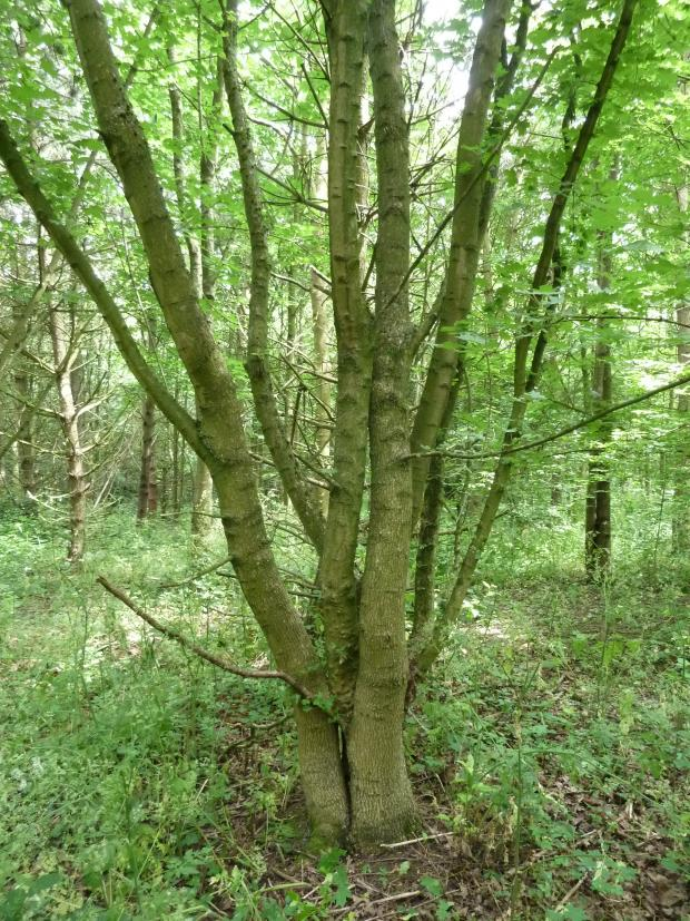Forestry Journal: Native field maple has clearly established and grown well throughout the site, although virtually all trees have multiple leaders and are heavily branched from a low position on the stem.
