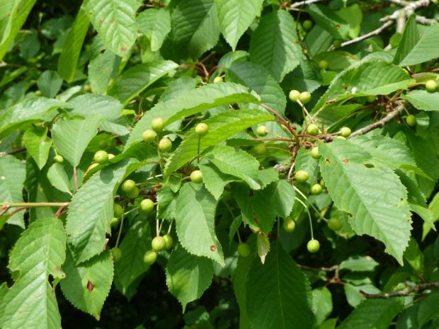 Forestry Journal: Planted tree species were already carrying heavy fruit and seed loads, like the wild cherry (gean) shown here.