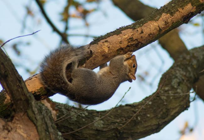 Research to combat grey squirrel tree damage
