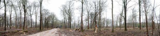 Forestry Journal: Cleared areas of Ashdown Copse. Where cleared, the landscape is spiked with seemingly desolate or fractured stems.