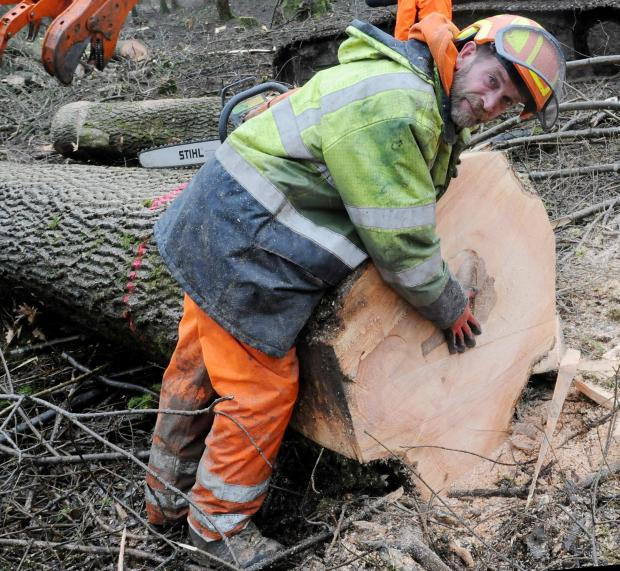 "Forestry Journal: George Ashby finds the heartwood is stained but solid. George says: ""The trees are unpredictable, they could be sound at the base and rotten at 12 foot. You never know until you put the saw into them."""