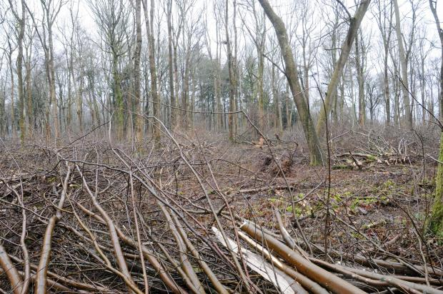 Forestry Journal: Hazel understorey cut by Chris Hall of RVC Forestry.