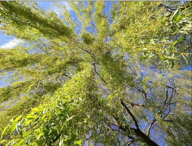 Willow trees could provide a new cancer drug